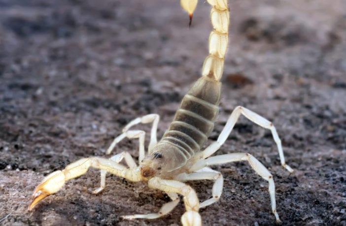 escorpiões