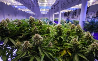 cannabis-brasil