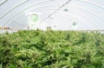 cultivo-cannabis